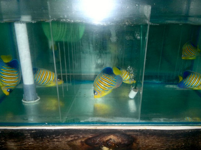 Sumatera Regal Angelfish