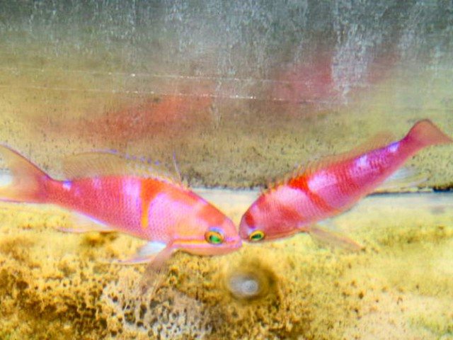 Aurora Anthias