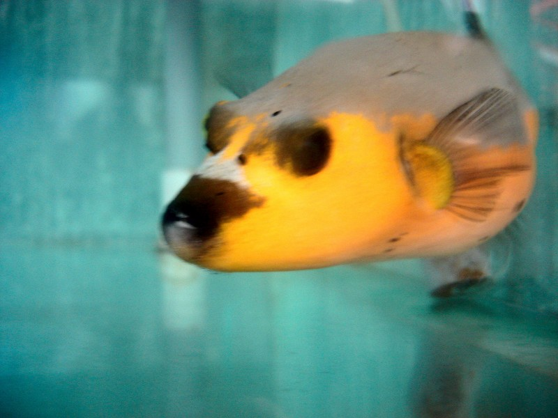 Yellow Dog Face Pufferfish